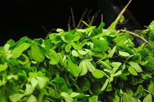 TestoFuel ingredients, Fenugreek